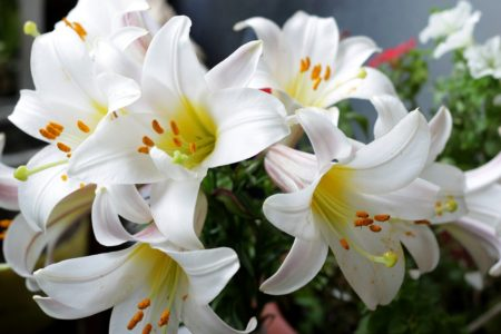 白く咲くのは百合の花